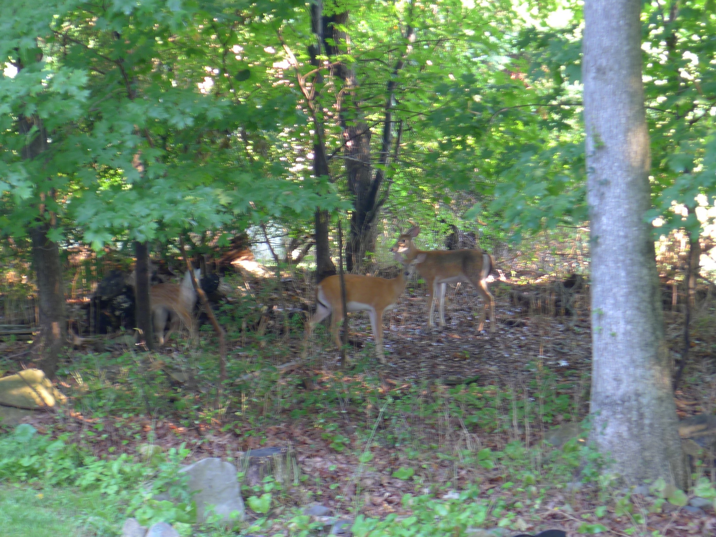 Deer family on property