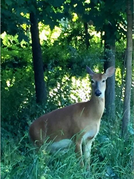 deer on 6-22-15